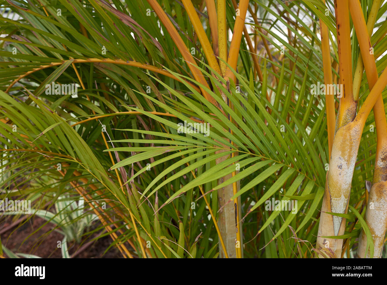 Dypsis Lutescens High Resolution Stock Photography And Images Alamy