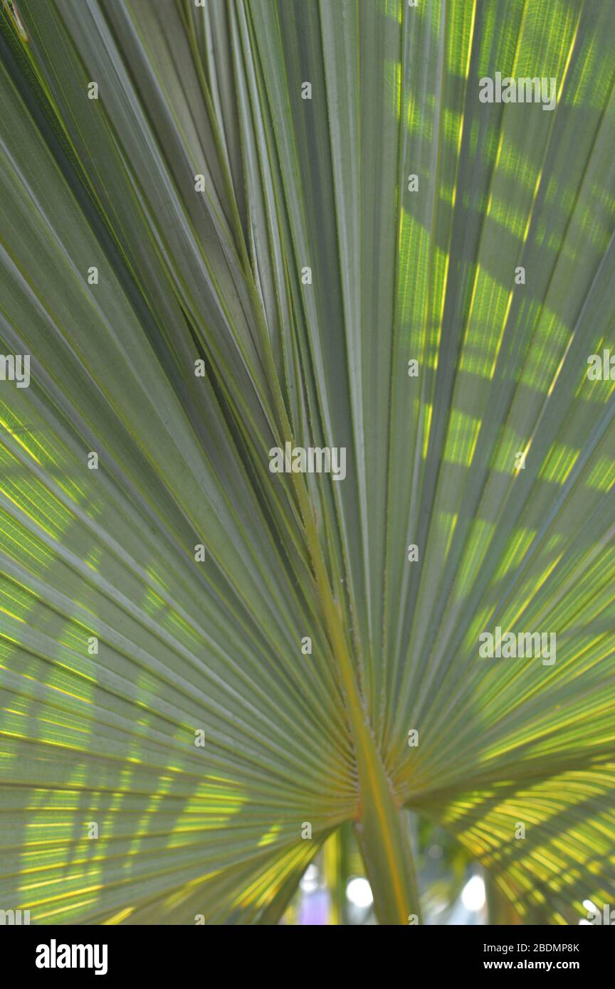 Dypsis Lutescens Plant Also Known As Golden Cane Palm Areca Palm Yellow Butterfly Palm Green Palm Leaves In Tropical Forest Stock Photo Alamy
