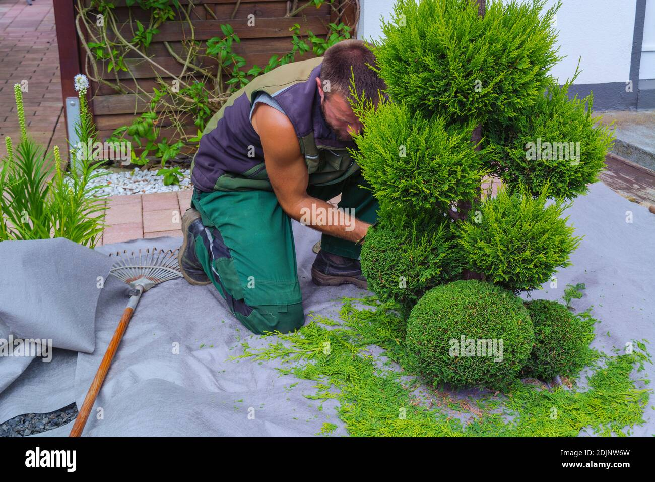 Thuja Smaragd Schneiden Thujahecke High Resolution Stock Photography And Images - Alamy