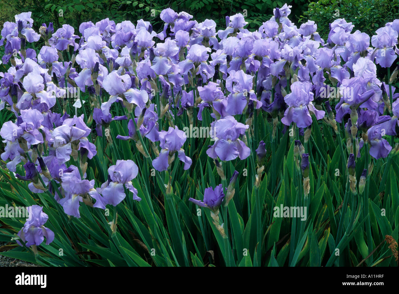Philips Iris Iris Jane Phillips Blue Flowers Tall Bearded Fragrant Garden