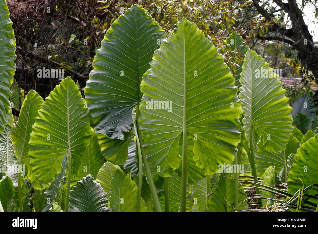 Large Leaf Houseplant Sri Lanka Tropical Plant With Large Leaves Standing