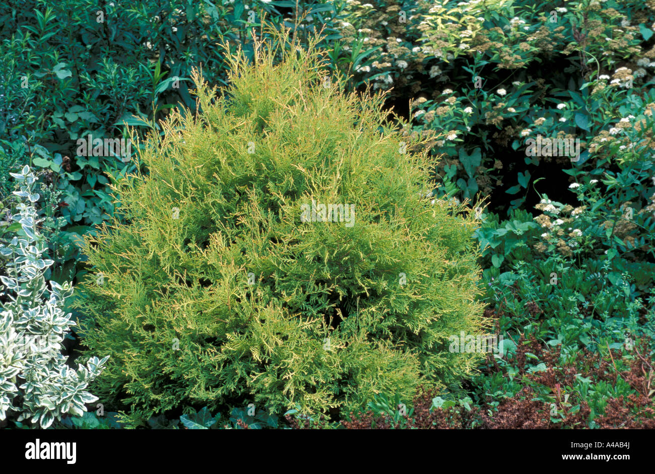 Thuja Rheingold Thuja Occidentalis Rheingold Stock Photo 10986017 Alamy