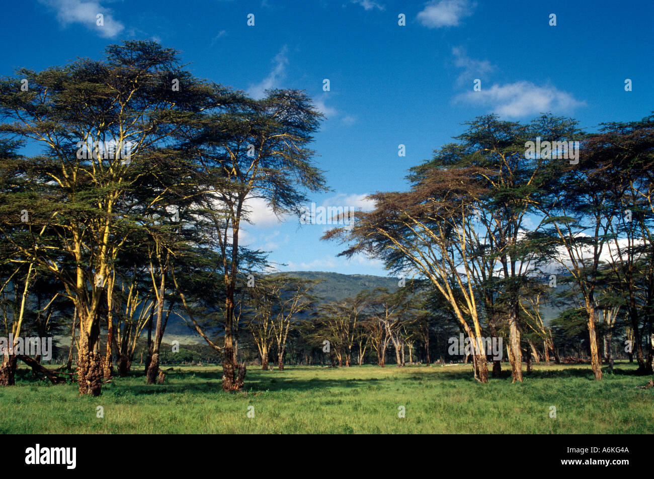 Square Habitat 35 A Stand Of Acacia Trees Ngorongoro Crater The Largest Intact