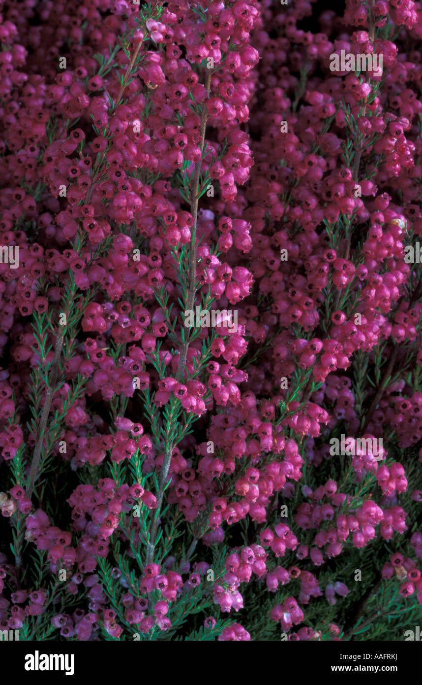 Erica Gracilis Erica Gracilis Stock Photo 12617813 Alamy