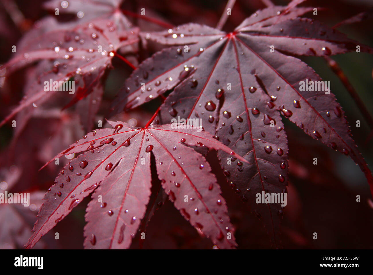 Fall Leaf Wallpaper For Mobile Raindrops On Dark Red Maple Leaves After Rain Stock Photo
