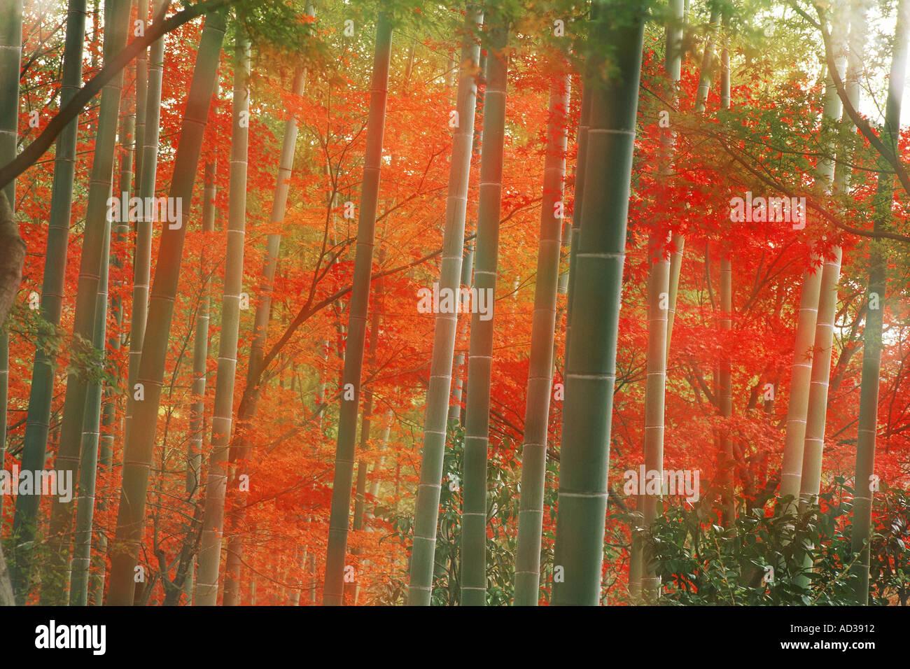 Fall Woodsy Pc Wallpaper Misty Sun Filling Bamboo Forest In Autumn At Arashiyama
