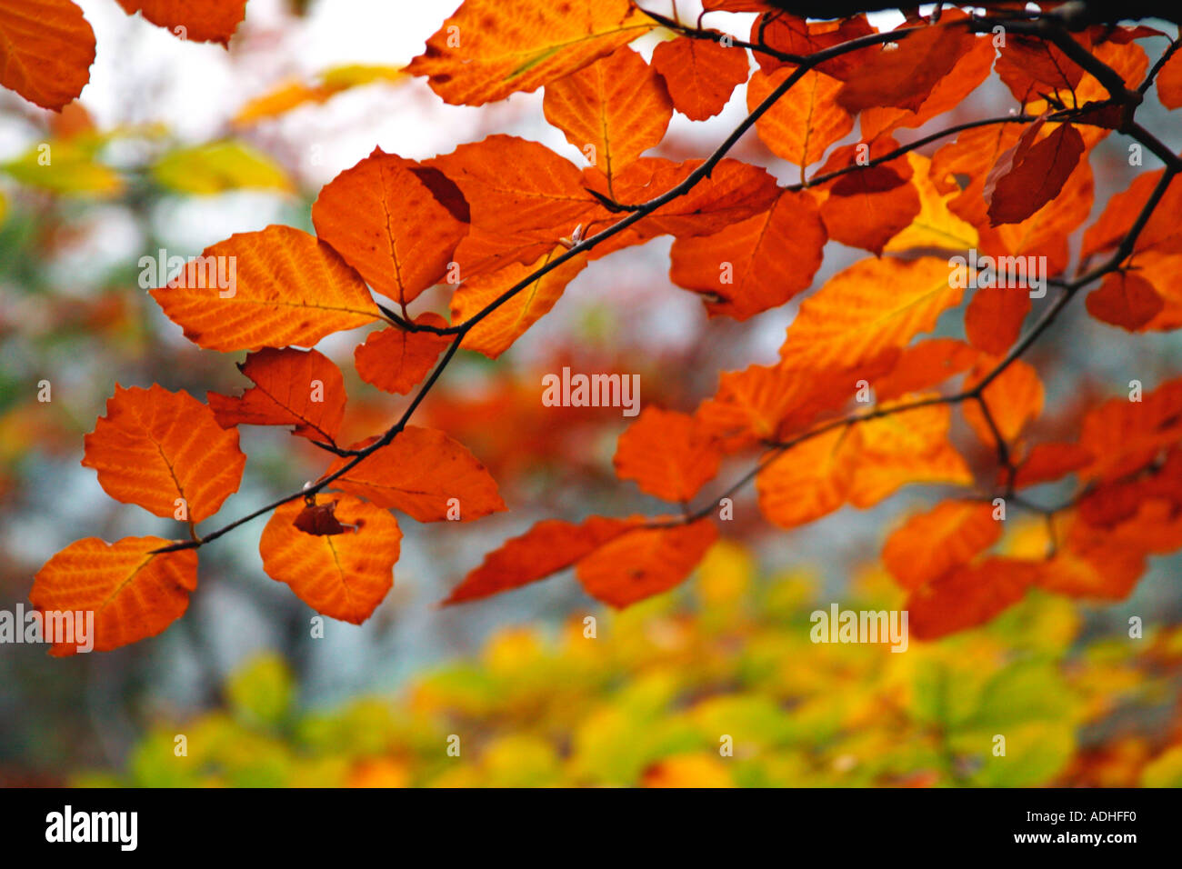 Live Wallpaper Fall Leaves Autumn Colours Fall Colors In Beech Tree Leaves Quot Fagus