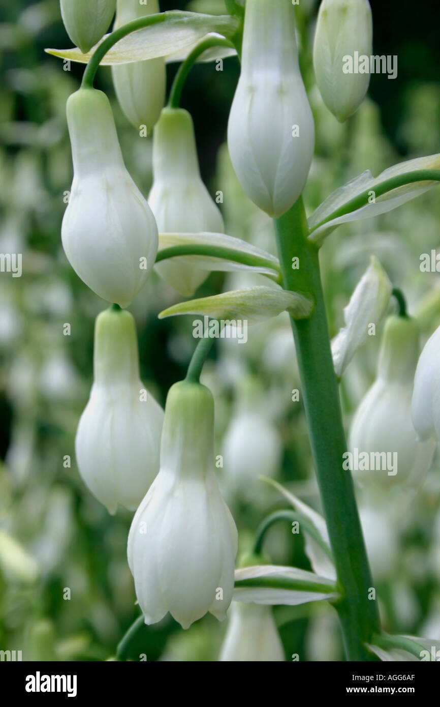 Summer Flowering Bulbs White Find Your World