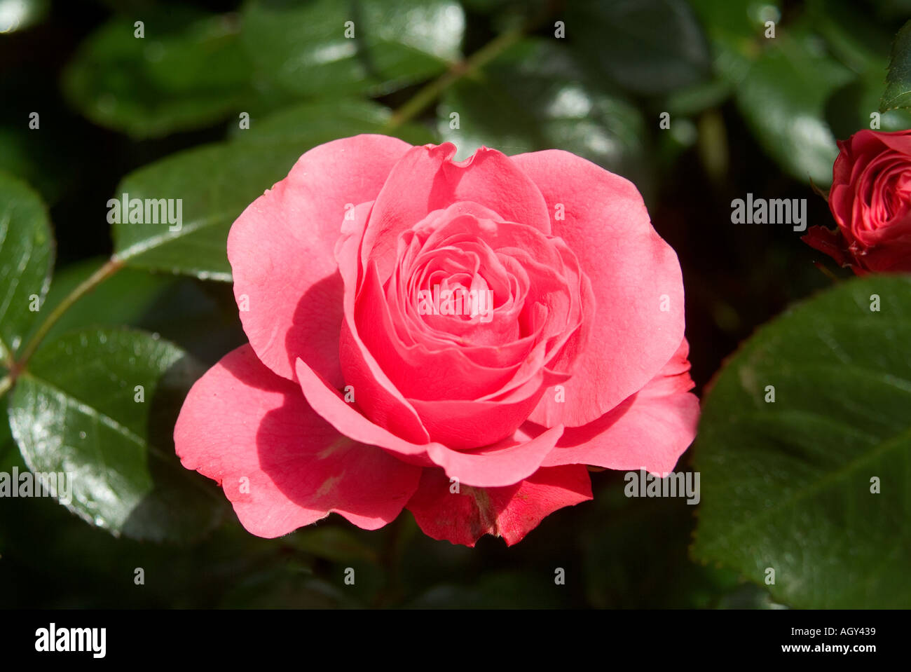 Bella Rosa Roses In Bloom Variety Bella Rosa Stock Photo 2667576 Alamy
