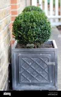 BUXUS PLANT IN GREY PLANTERS OUTSIDE FRONT DOOR OF HOUSE ...