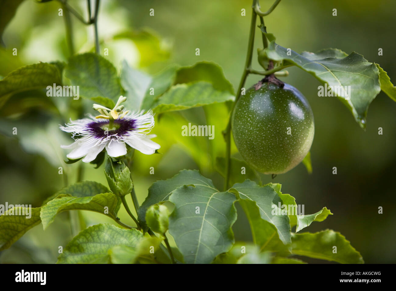 Passiflora Edulis Unripe Passion Fruit Stock Photos And Unripe Passion Fruit