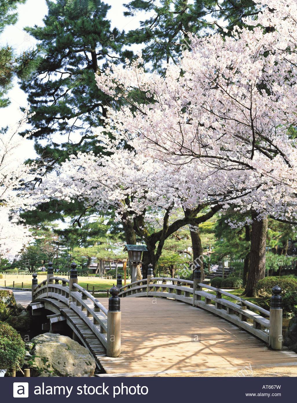 garden cherry blossoms hana mi bridge kanazawa ishikawa japan download