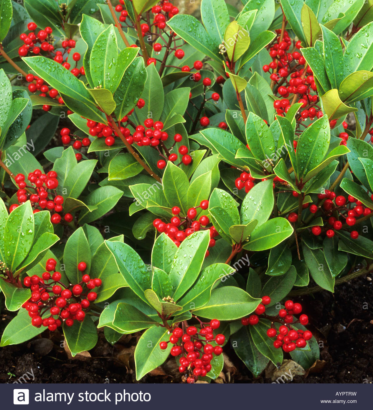 Plant Met Rode Bessen Skimmia Japonica Subsp Reevesiana Stock Photo Royalty