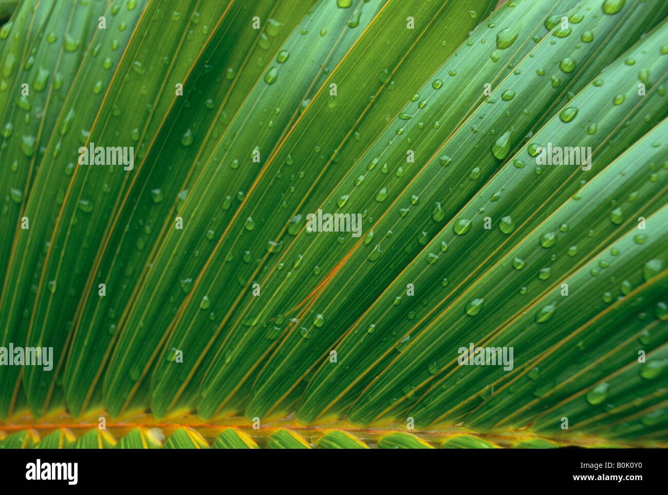 Palm Areca Areca Palm Leaf Stock Photo Royalty Free Image 17628212