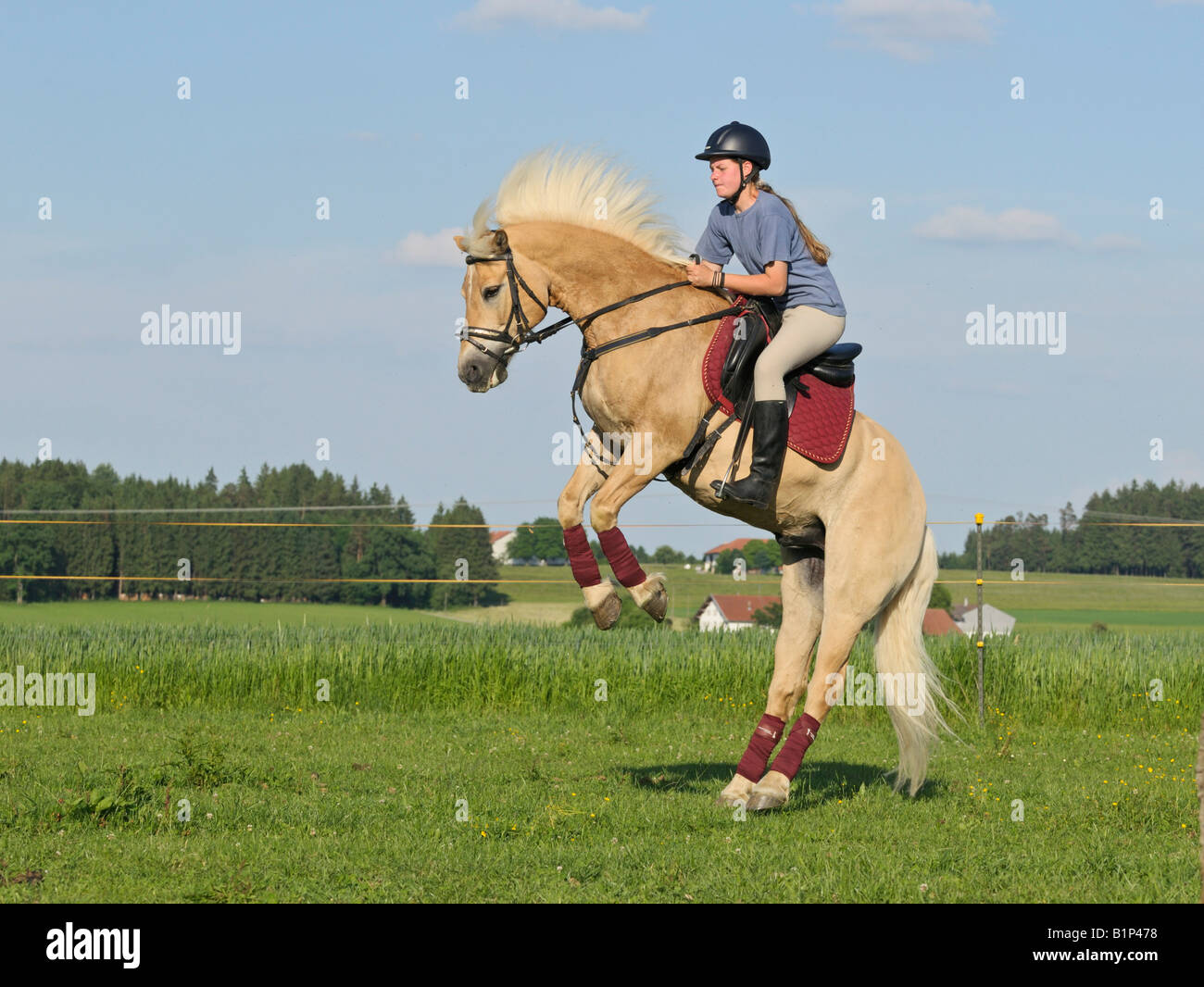 Girl Riding Horse Wallpaper Young Rider On Back Of A Rearing And Bucking Haflinger