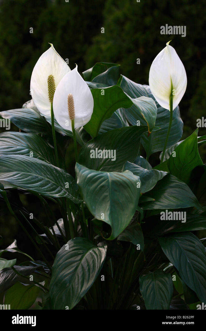Spathiphyllum Wallisii Spathiphyllum Wallisii White Flower No Not People Nobody Isolated