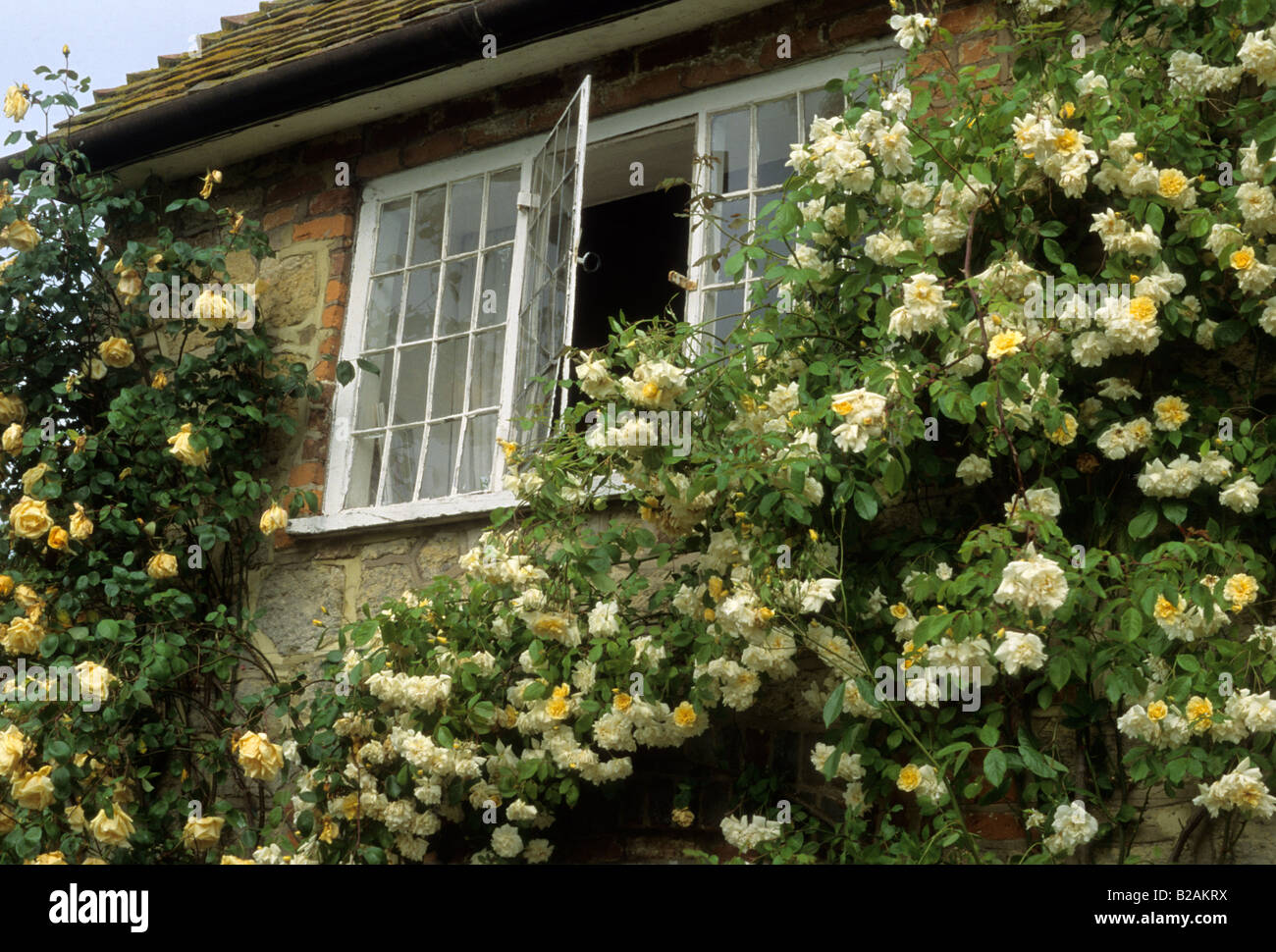 Alister Stella Grey Rose Coombland Sussex Climbing Rose Rosa Lawrence Johnson And