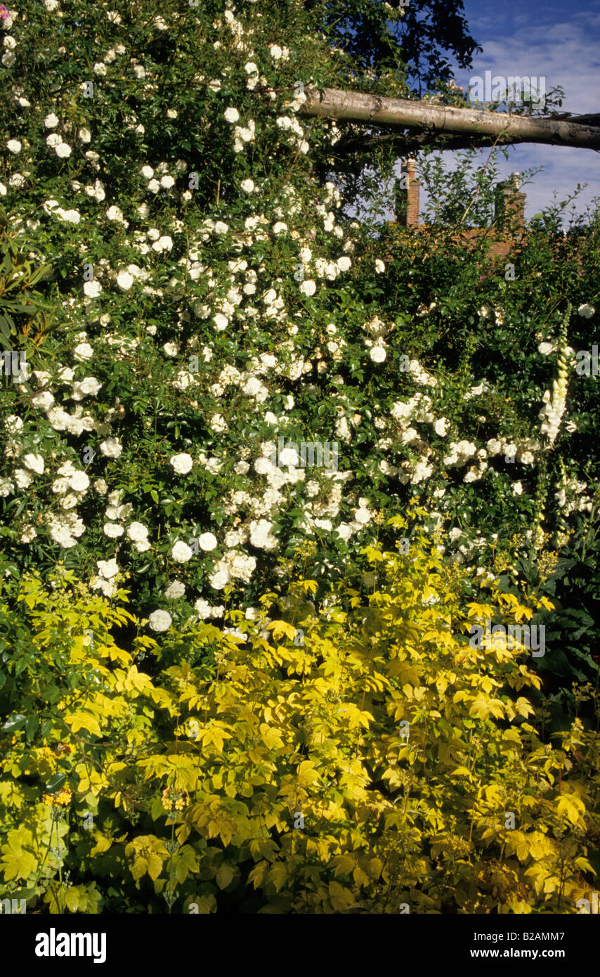 Alister Stella Grey Rose Coombland Sussex Climbing Rose Rosa Saunder S White Pergola