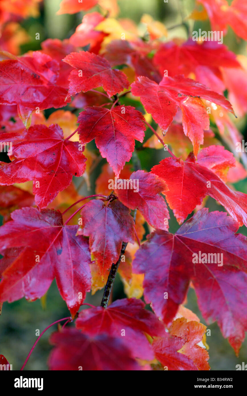 Ahorn October Glory October Glory Stock Photos October Glory Stock Images Alamy