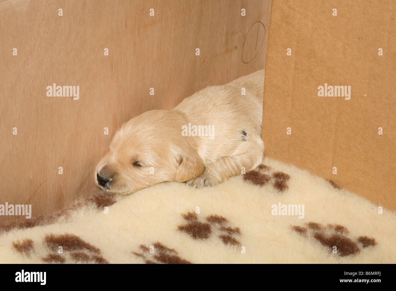 Bettwäsche Dog Side Golden Retriever Puppy Weeks Old Stock Photos Golden Retriever
