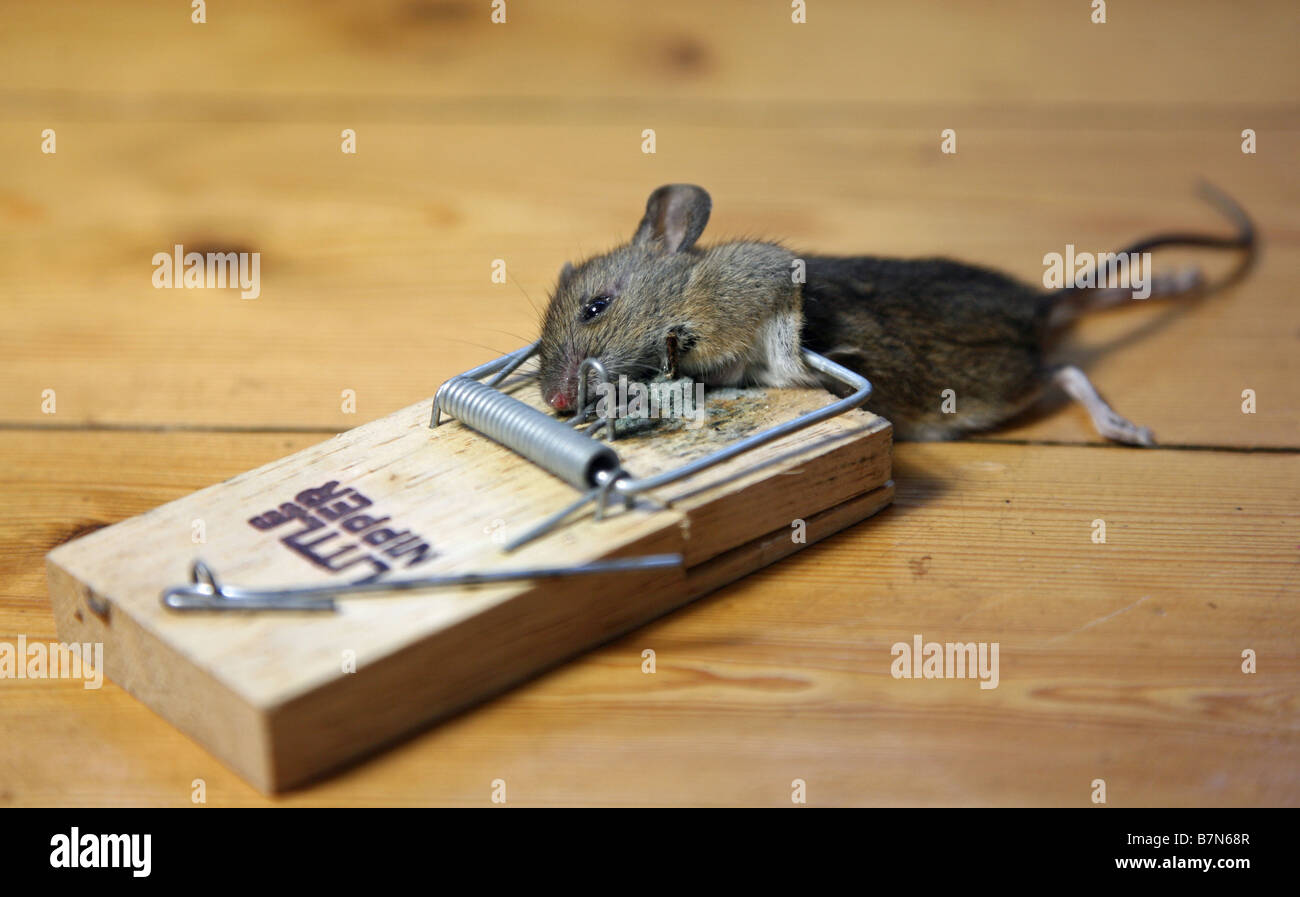 Electrische Muizenval A Dead Mouse Caught In A Mouse Trap Stock Photo 21978903