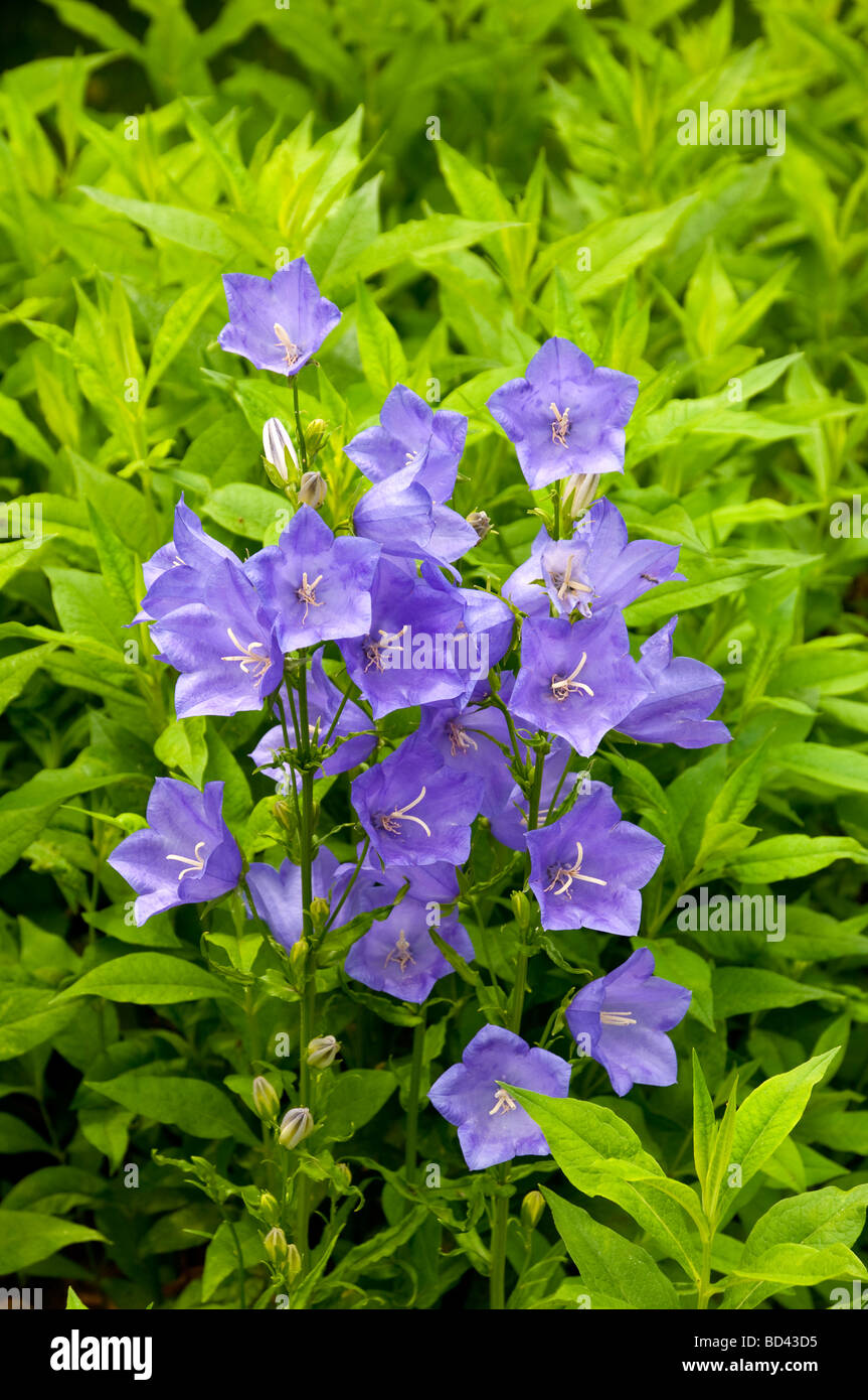 a cluster of blue bell like flowers in a summer garden in winkler manitoba canada