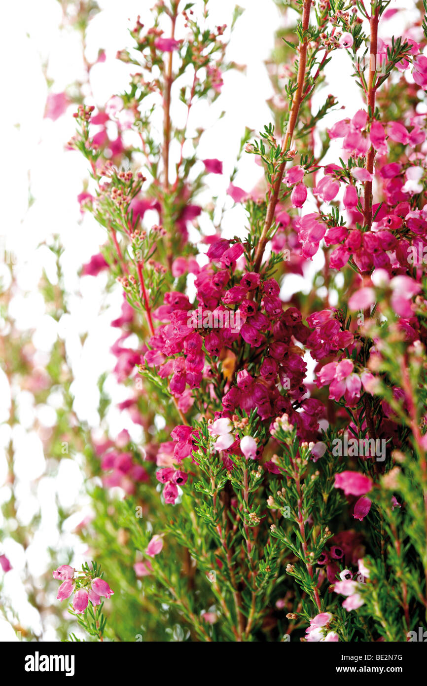 Erica Gracilis Bell Heather Erica Gracilis Stock Photo 25876132 Alamy