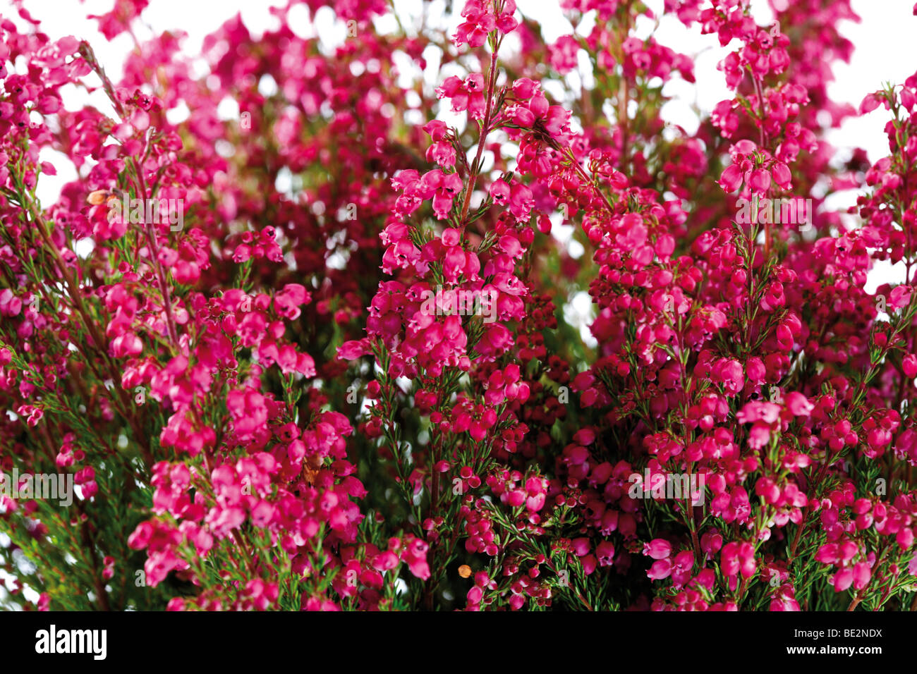 Erica Gracilis Bell Heather Erica Gracilis Stock Photo 25876310 Alamy