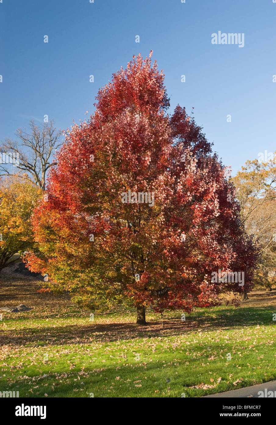 Ahorn October Glory Red Maple Tree Acer Rubrum