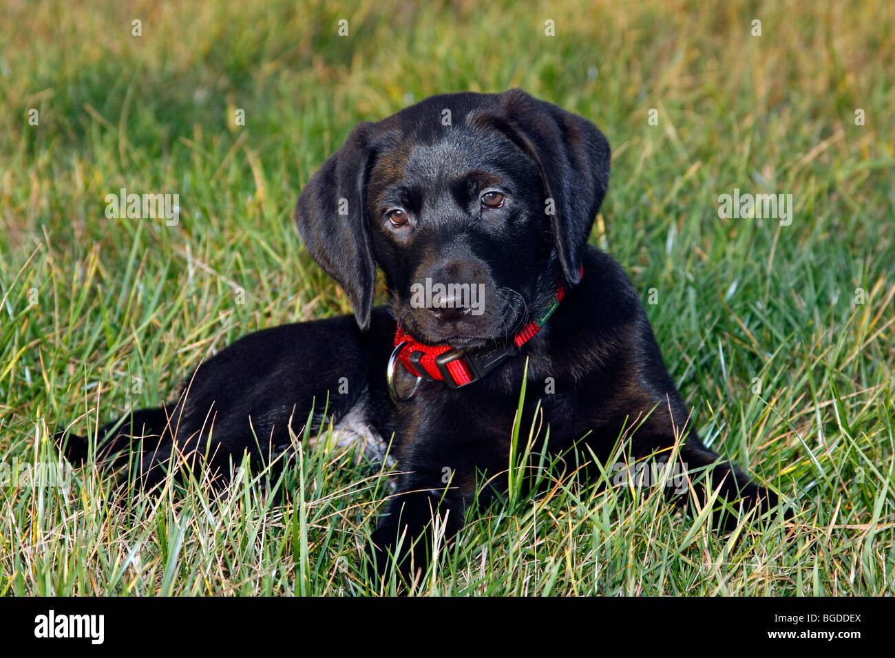 Black Lab Dog Male Black Labrador Retriever Puppy 10 Weeks Male Stock Photo