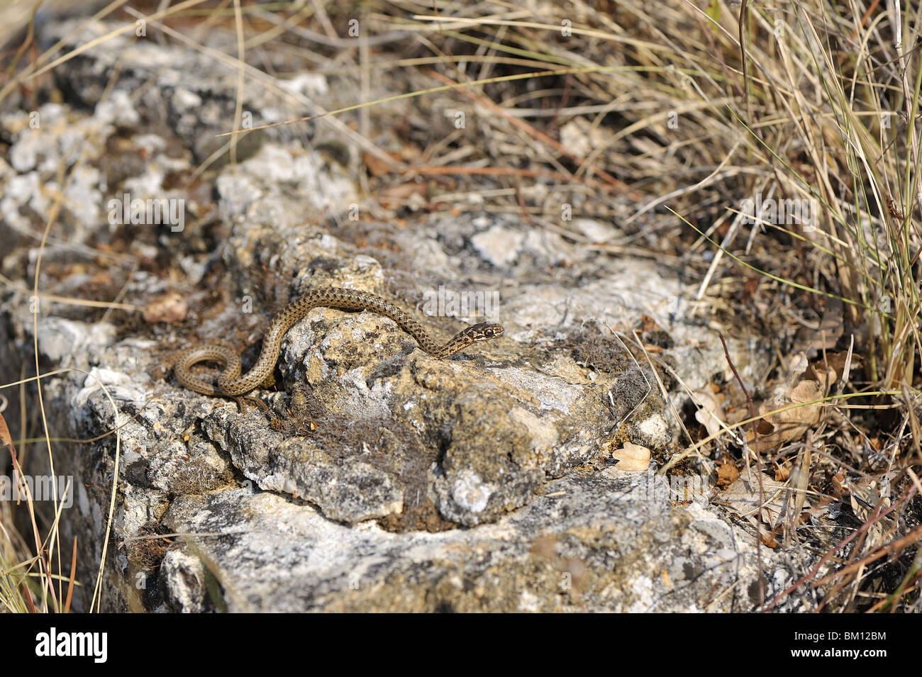 Rock Shop Montpellier Newborn Montpellier Snake Crawling On A Rock Stock Photo 29527336