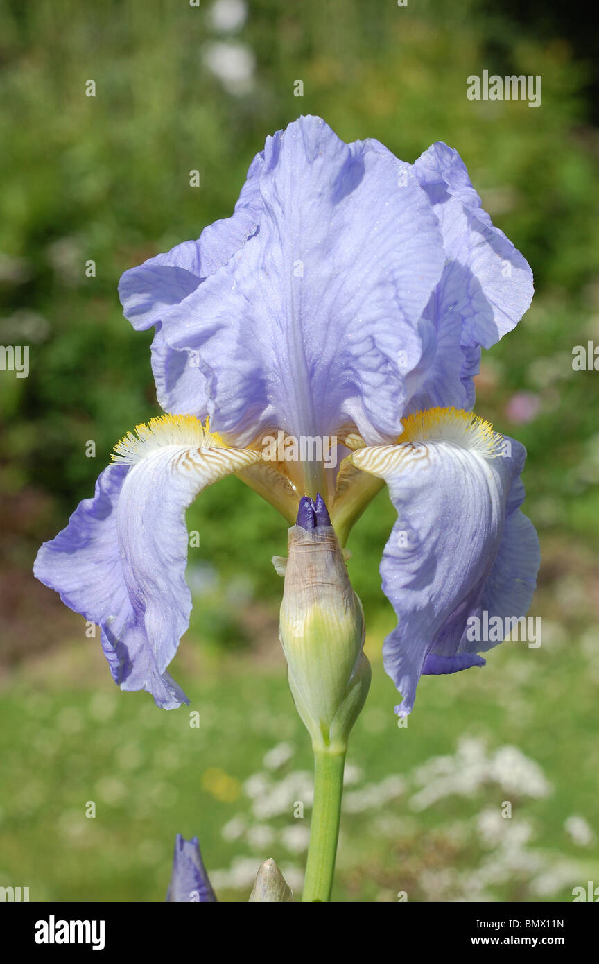 Philips Iris Iris Jane Philips Stock Photo 30075073 Alamy