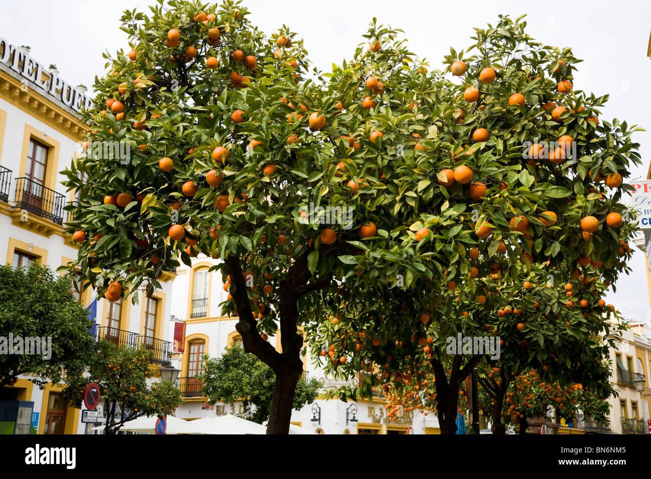 Fruiting Orange Fruit Tree Trees Growing On The Street