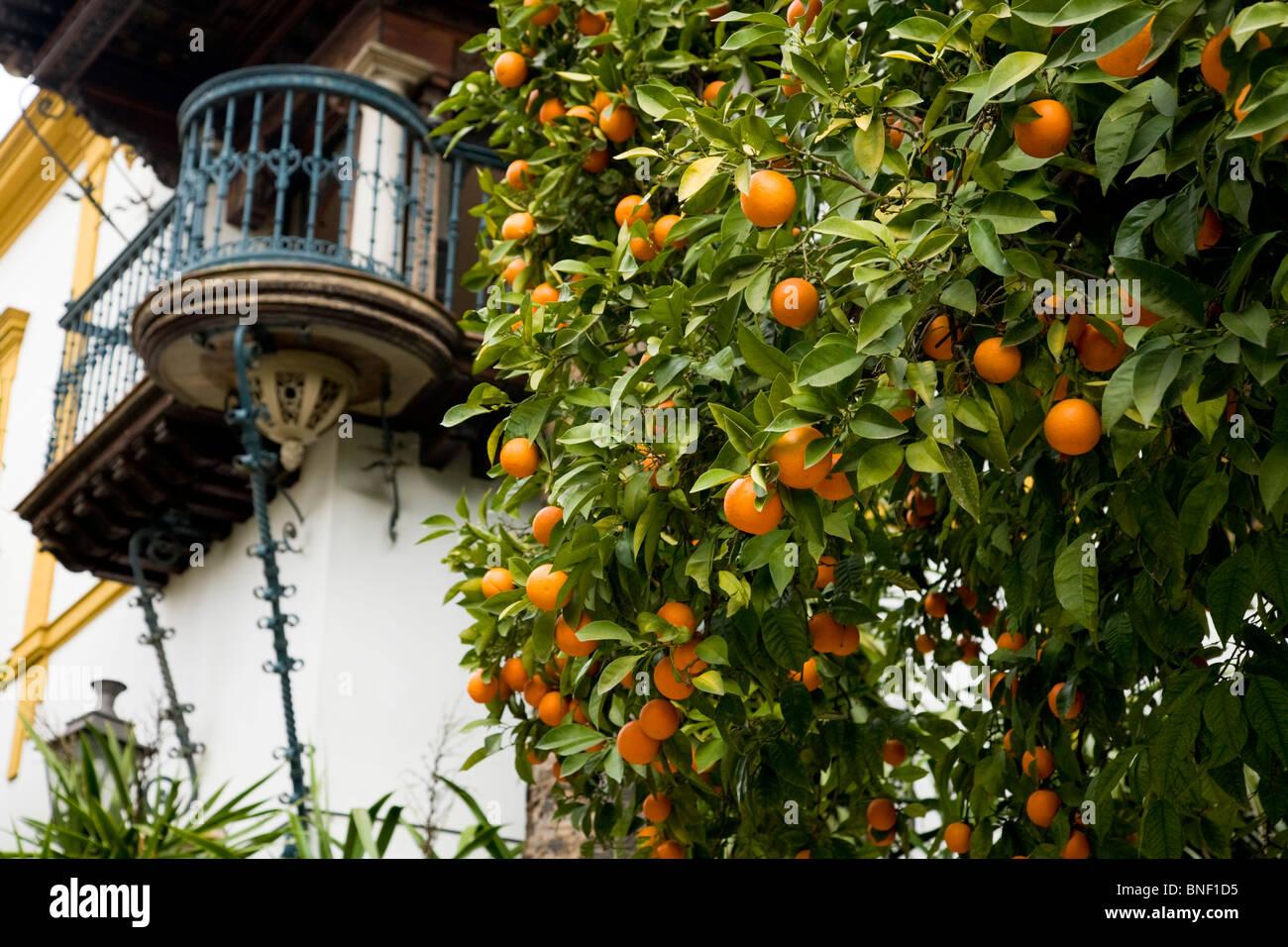 Oranges Growing Orange Trees Orange Tree In Front Of