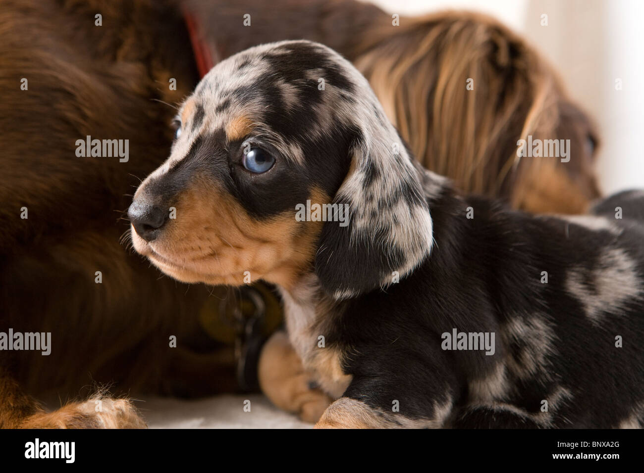 Cute Baby Blue Eyes Wallpaper Two Week Old Dapple Dachshund Puppies Stock Photo