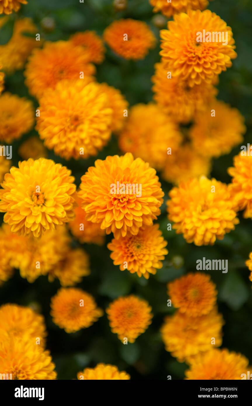 Chrysanthemum Indicum Winterhart Hardy Chrysanthemum Stock Photos Hardy Chrysanthemum Stock