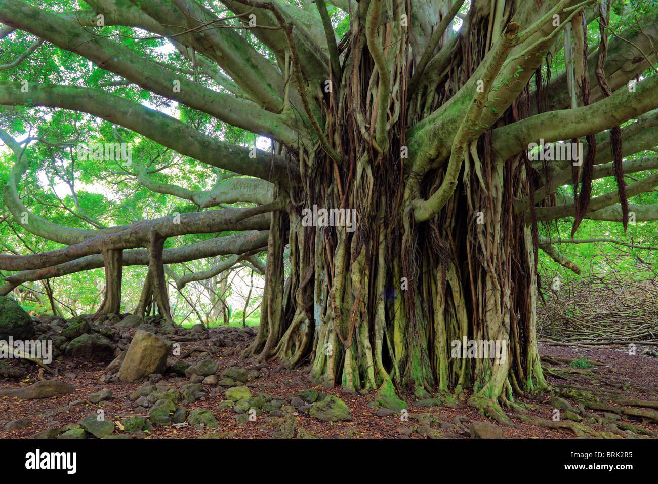 Live Wallpaper Fall Leaves Banyan Tree Along The Pipiwai Trail To Waimoku Fall In The