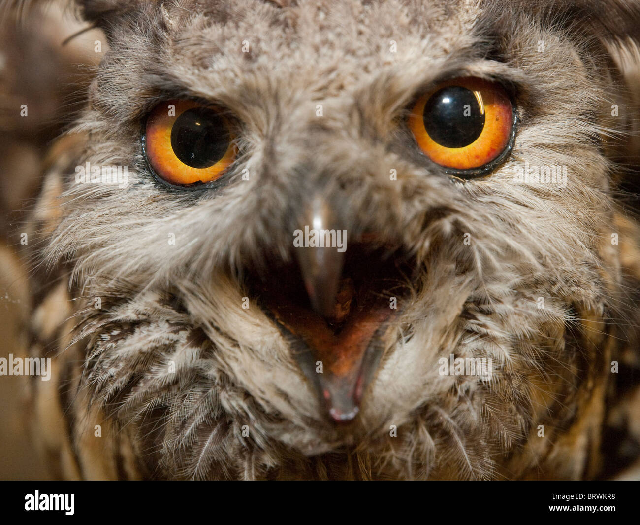 Stuff Owl Taxidermy Owl Stock Photos And Taxidermy Owl Stock Images