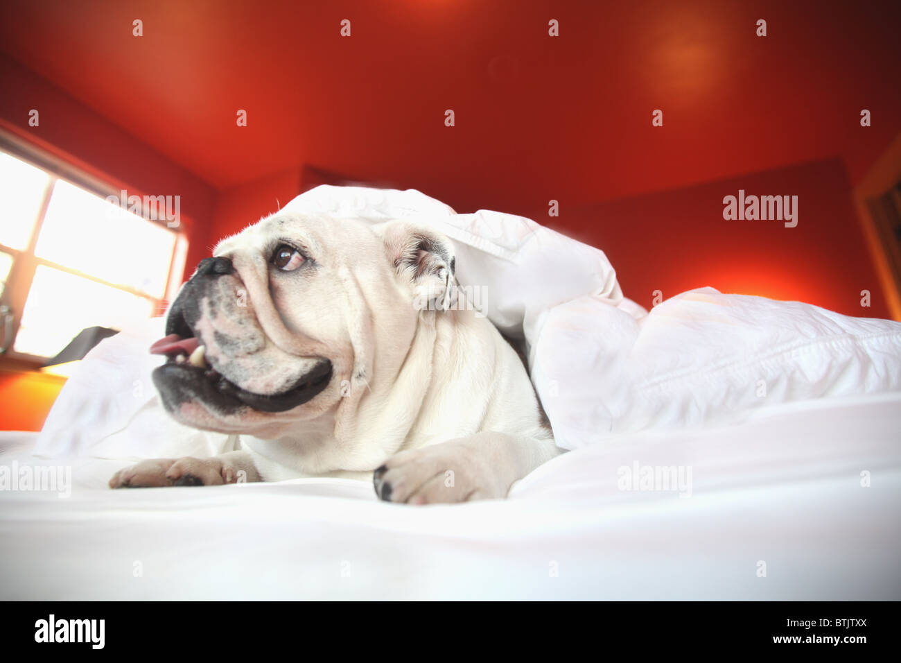 The Happy Bull Amsterdam Bull Dog Stock Photos Bull Dog Stock Images Alamy