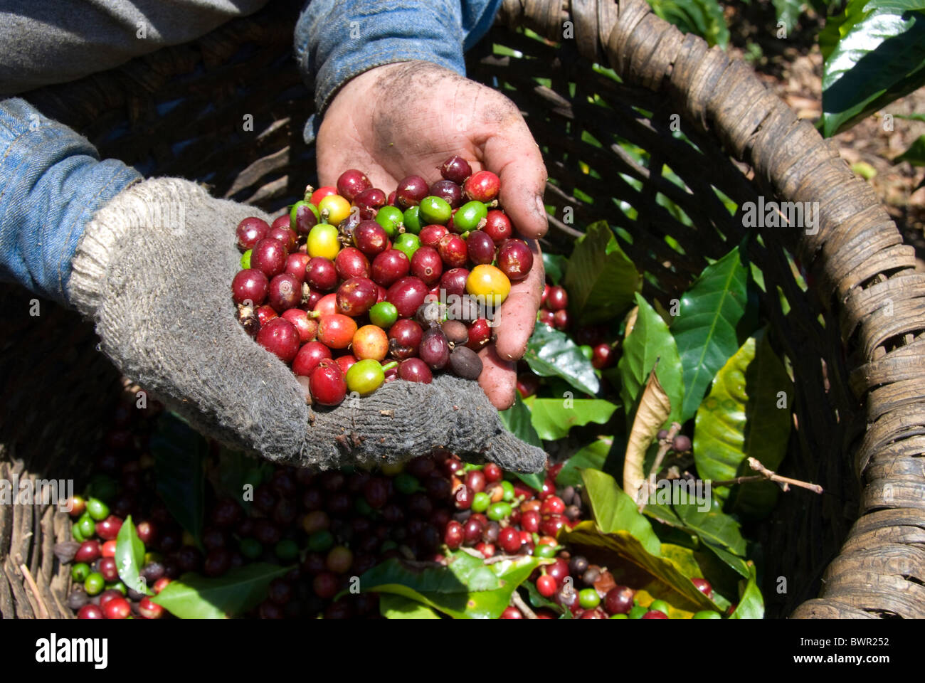 Costa Coffee Arabica Robusta Arabica Coffee Beans Near Poas Volcano Central Valley