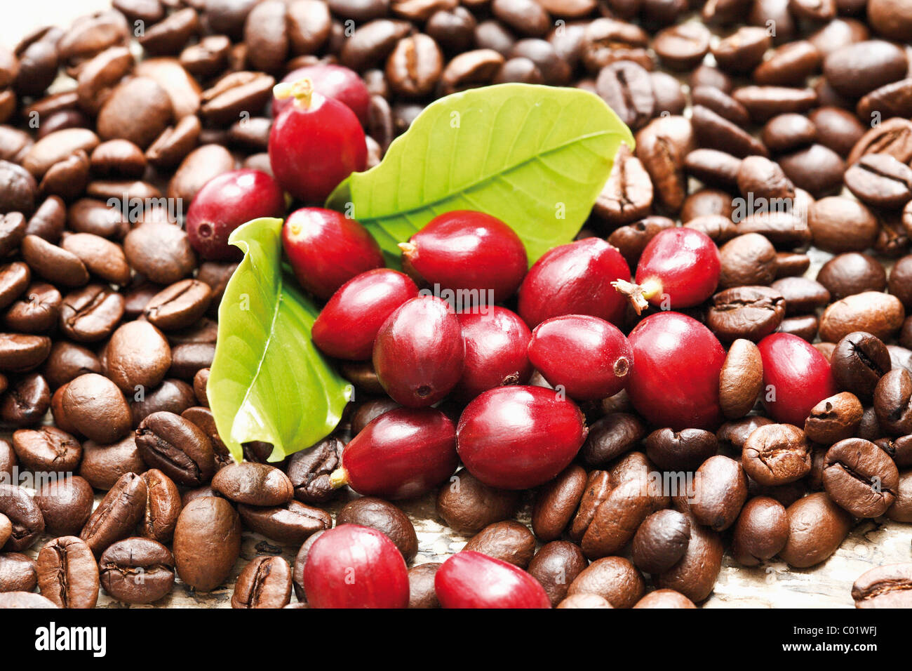 Coffee Arabica Coffee Bean Red Coffee Berries Coffea Arabica On A Bed Of Coffee