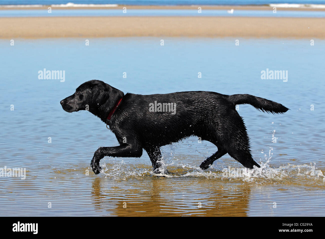 Black Lab Dog Running Black Labrador Retriever Walking Along The Water Line On
