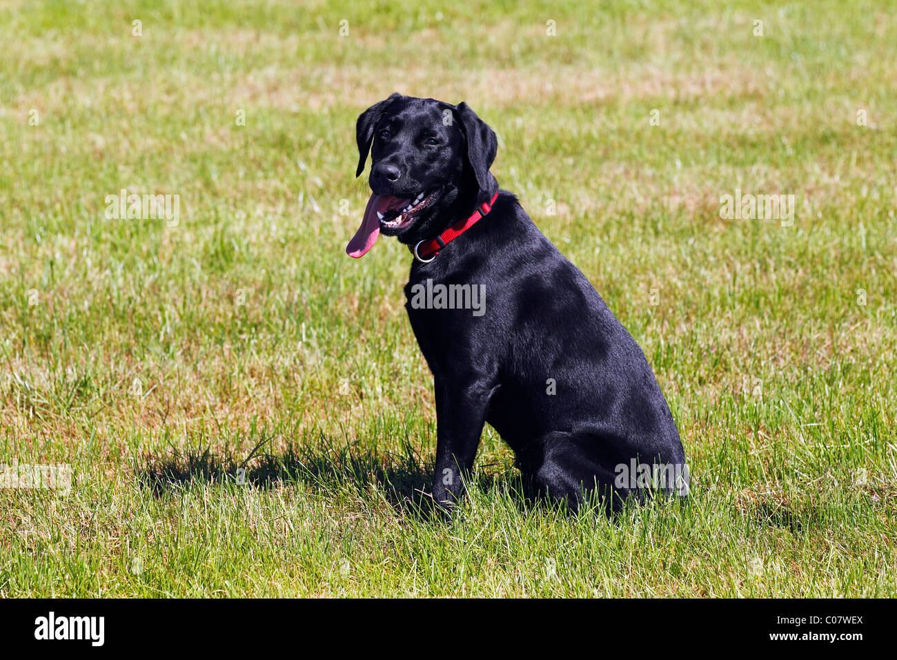 Black Lab Dog Male Black Labrador Retriever Young Male Dog Panting With