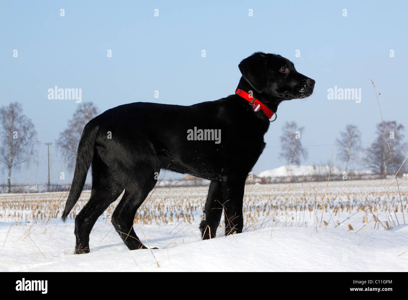 Black Lab Dog Male Side Profile Of Black Lab Stock Photos And Side Profile Of