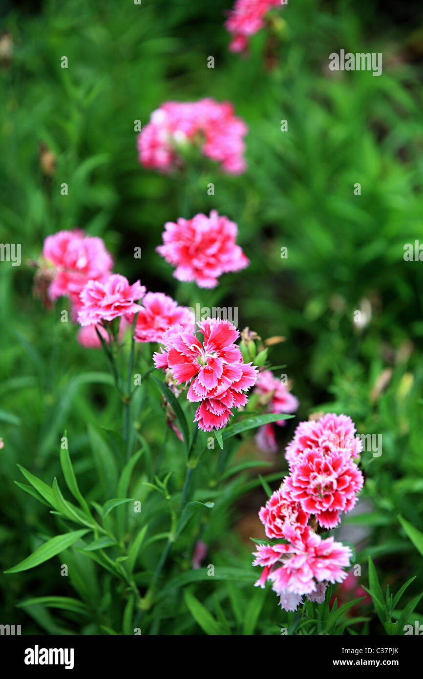 Beautiful Pictures Of Flowers Beautiful Flowers In Sri Lanka Asia Stock Photo 36436139 Alamy