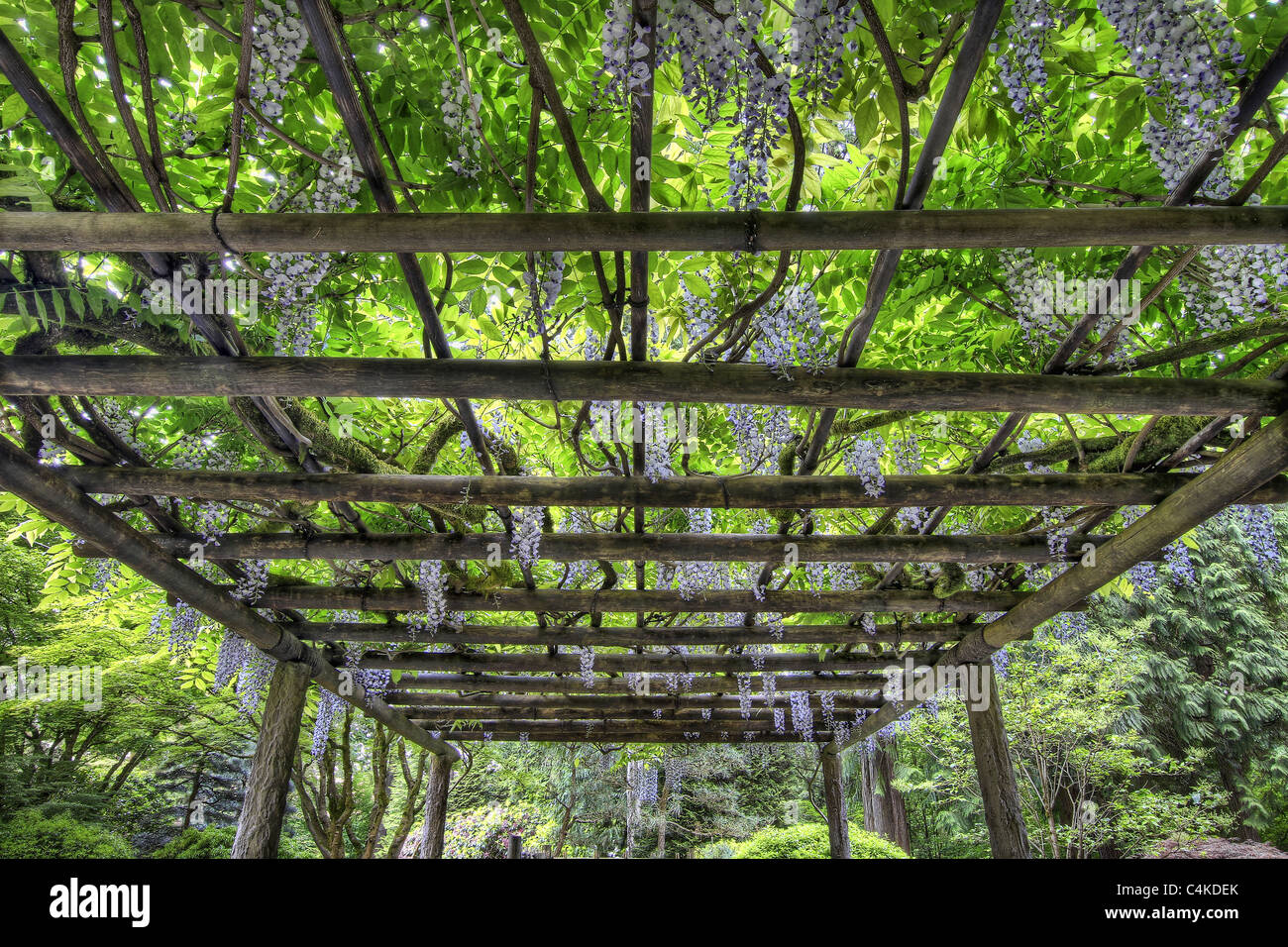 Pergola Glycine Wisteria Pergola Stock Photos And Wisteria Pergola Stock
