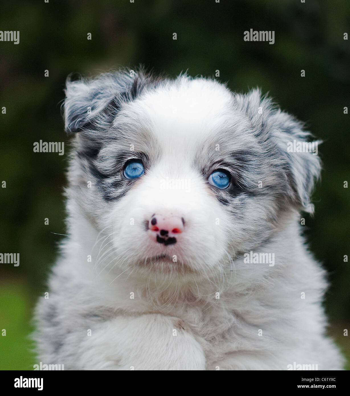 Cute Puppies Wallpapers For Mobile Cute Blue Merle Collie Puppy With Blue Eyes Stock Photo