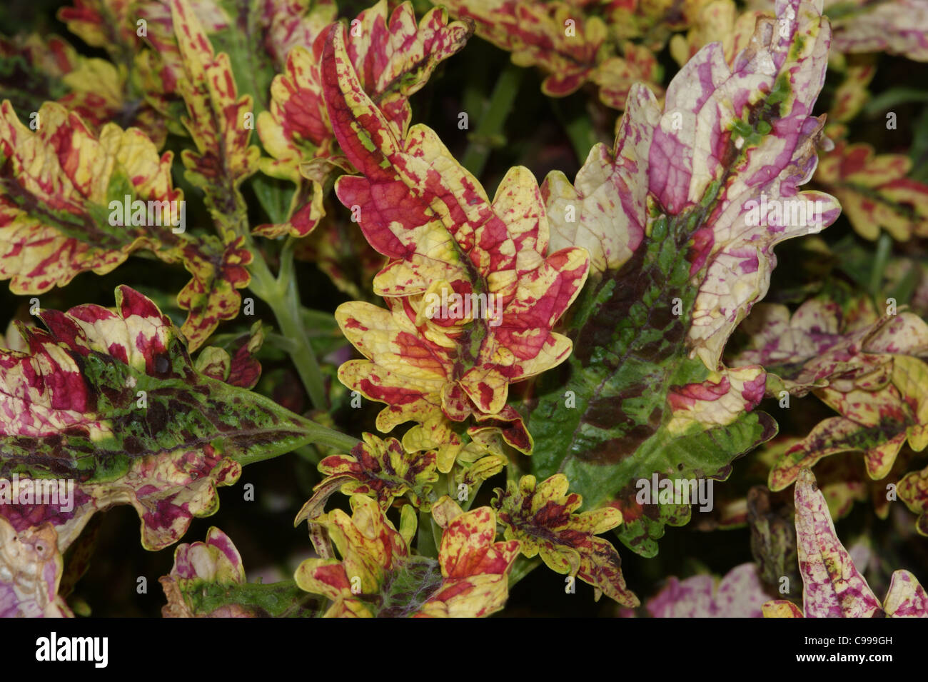 Paisley Shawl Stock Photos & Paisley Shawl Stock Images