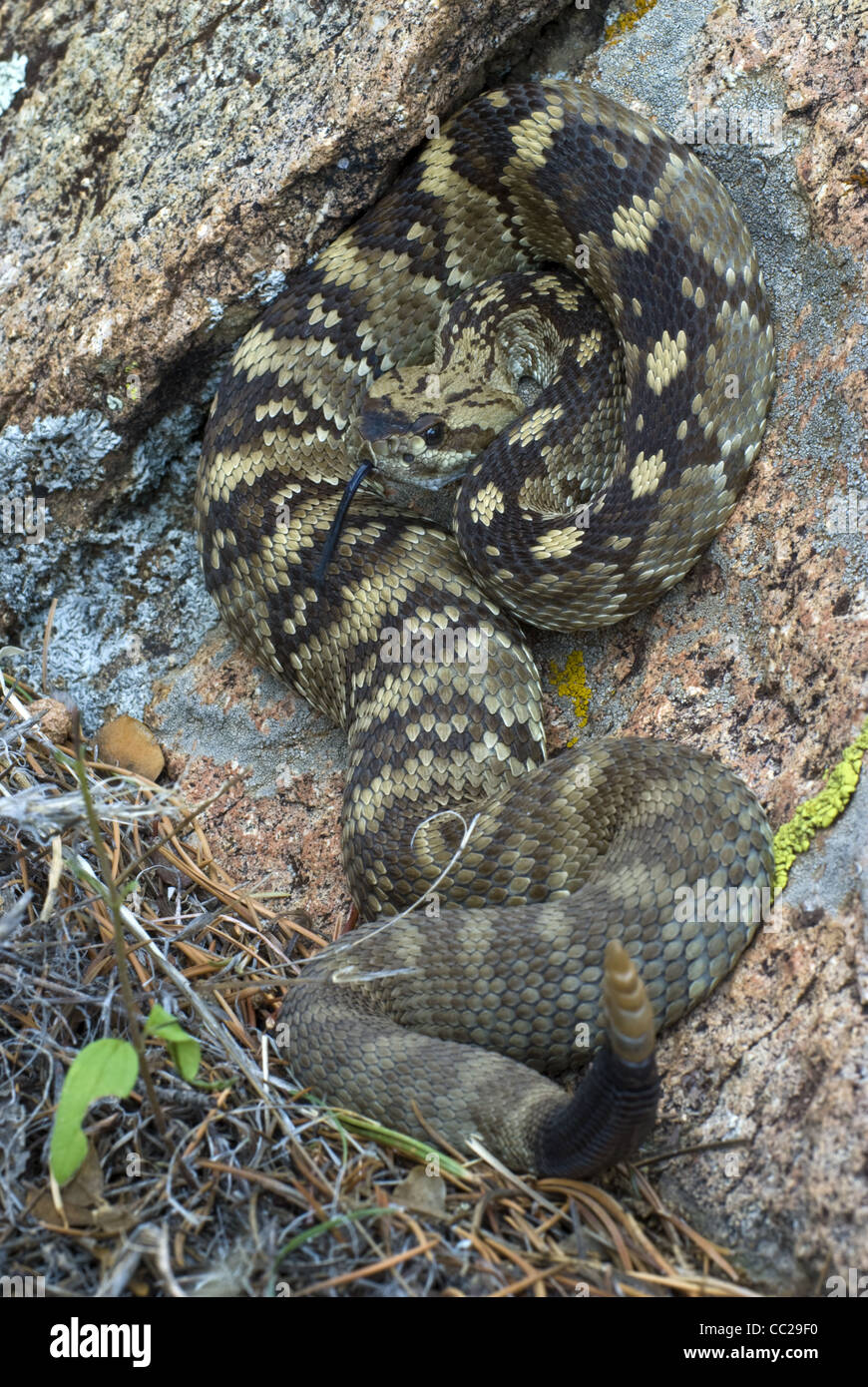 Northern blacktailed rattlesnake crotalus molussus molussus magdalena mountains socorro county new mexico usa