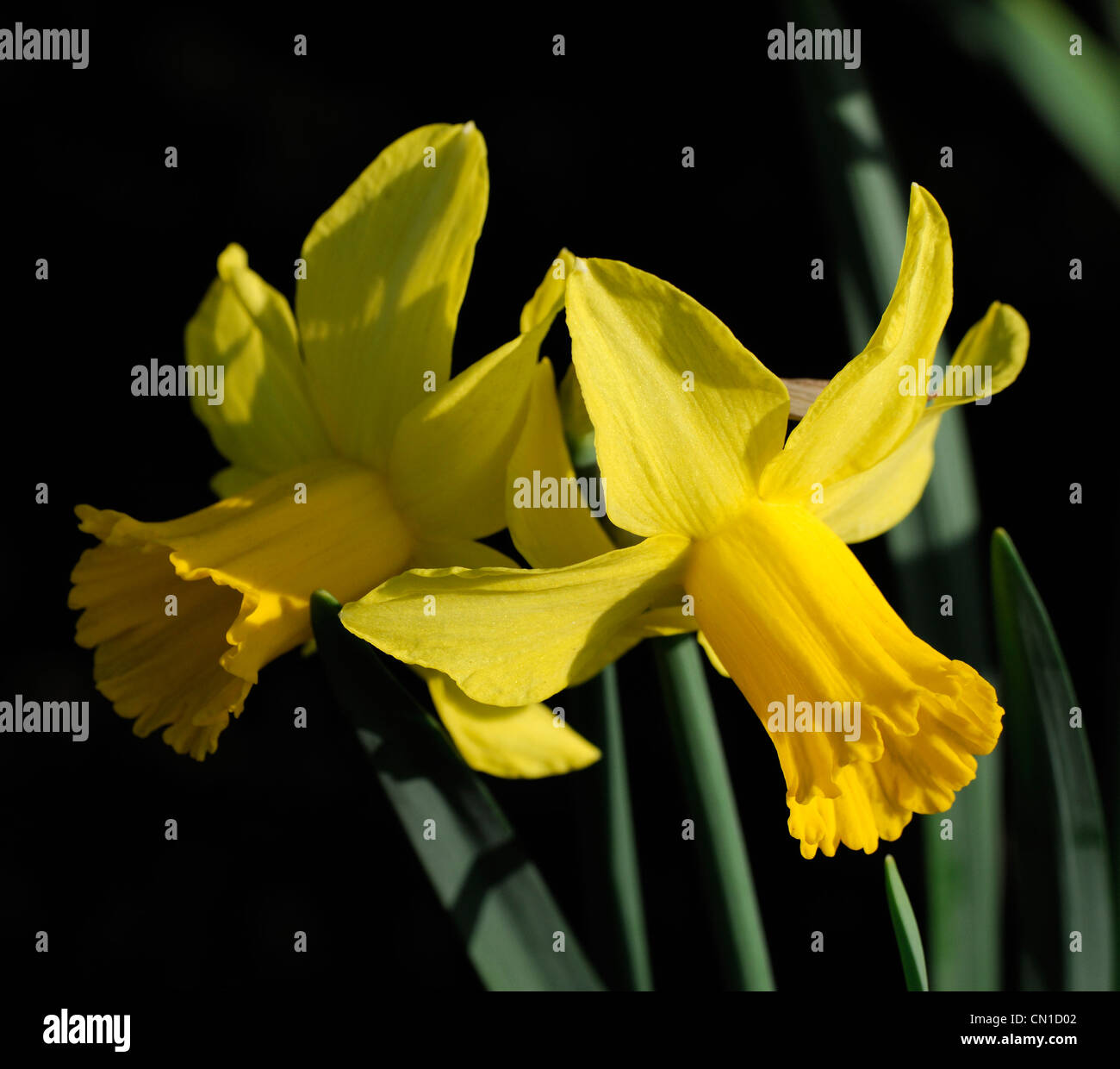 Narcissus Cyclamineus Narcissus February Gold Stock Photos And Narcissus February
